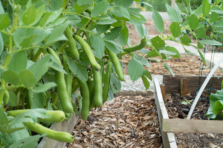 Ackerbohnen im Beet