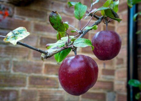 Apfelbaum Mit Reifen Äpfeln Roter Herbstkalvill