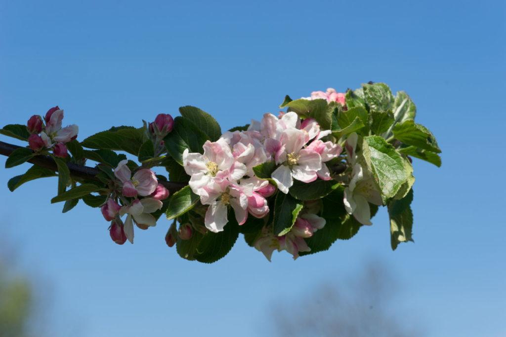 Blühender Ast eines Alkmene-Apfelbaums