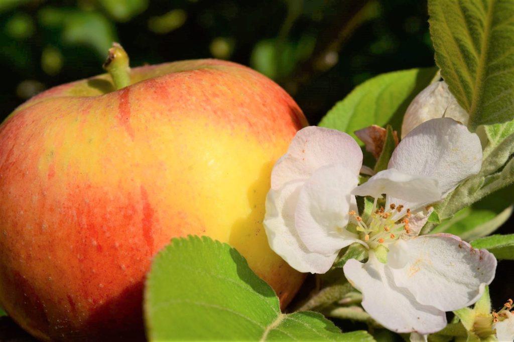 Alkmene-Apfel und Blüte