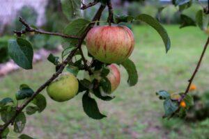 Altländer Pfannkuchenäpfel Am Baum