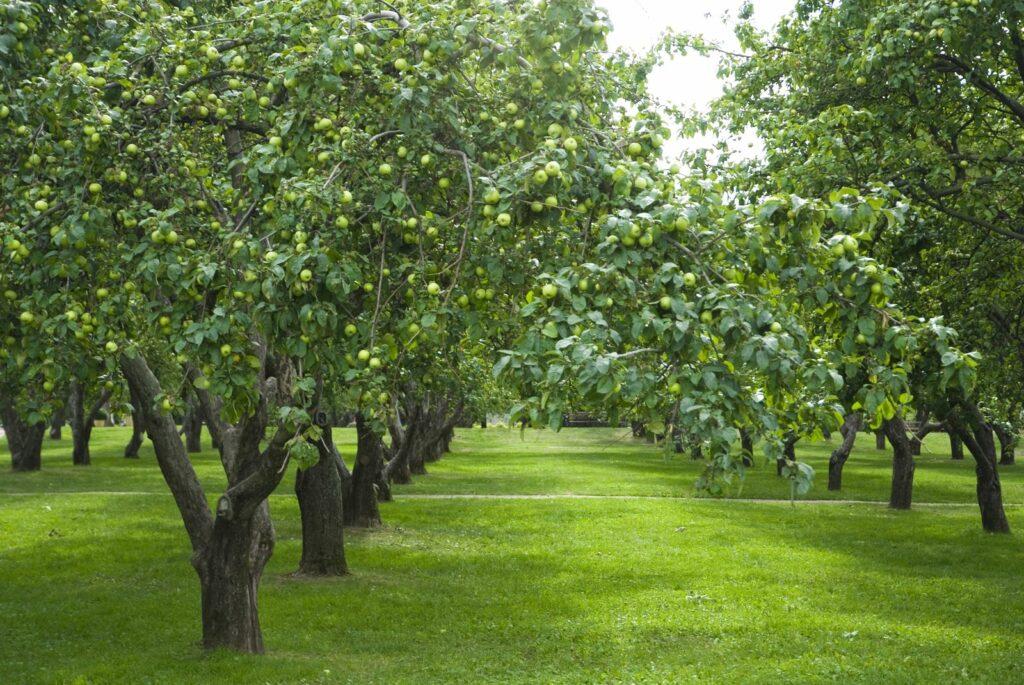 Apfelbäume der Sorte Seestermüher Zitronenapfel