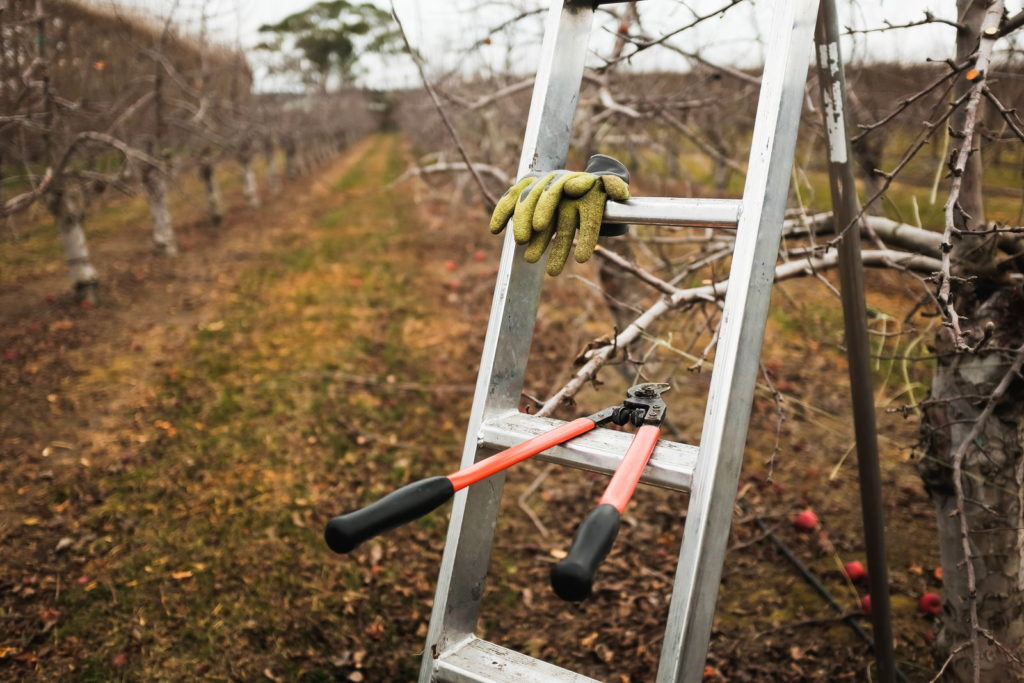 Apfelbäume mit einer Schere und einer Leiter