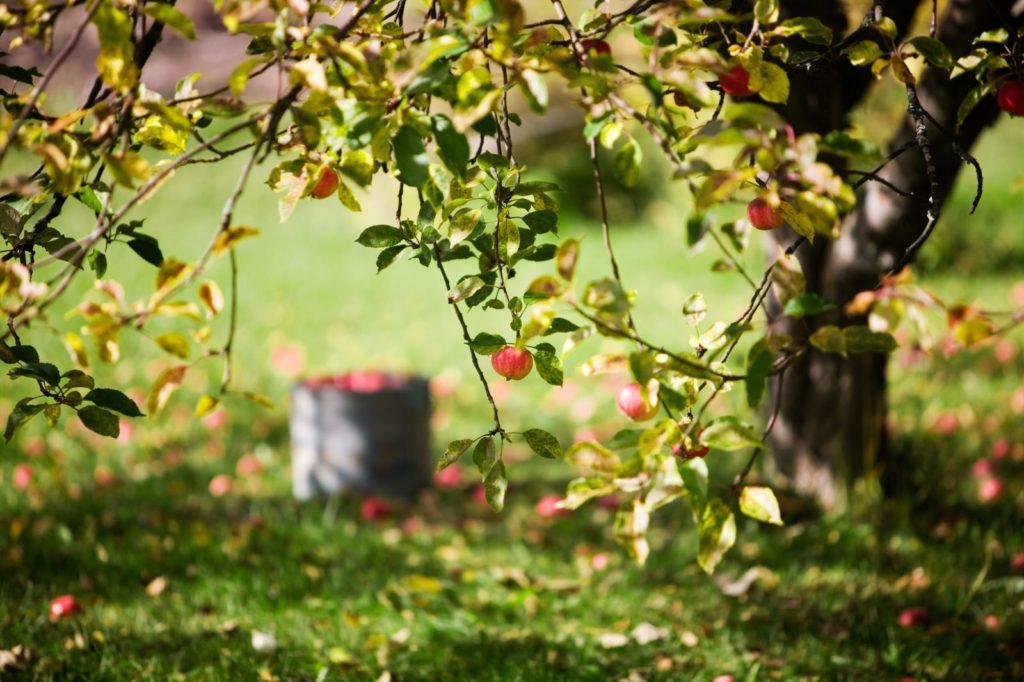 Apfelbaum mit Blättern im Garten