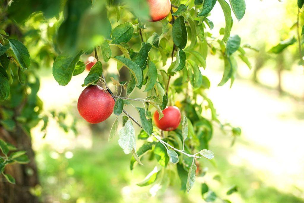Apfelbaum der Sorte Rubinette