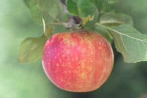 Alkmene-Apfel Hängt Am Baum
