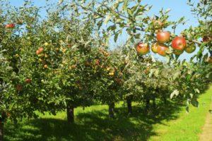 Apfelbäume Der Sorte Jonagored