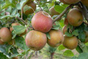 Apfelsorte Boskoop: Geschmack, Erntezeit & Co