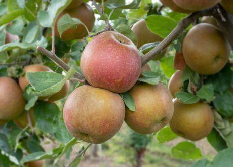 Apfelsorte Boskoop Reif Am Apfelbaum
