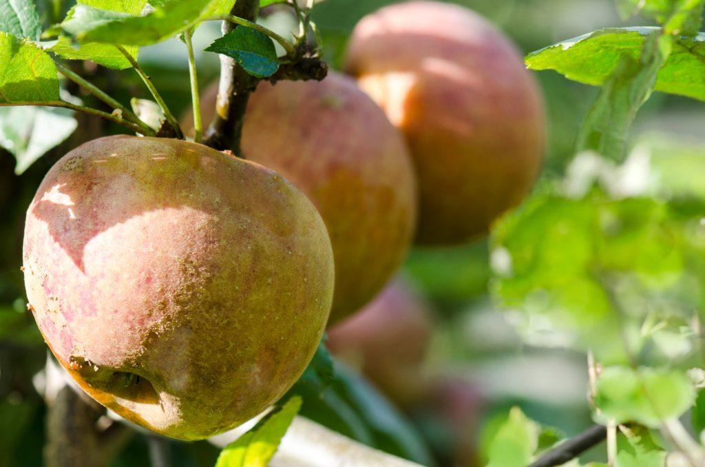 Reifer Boskoop Apfel