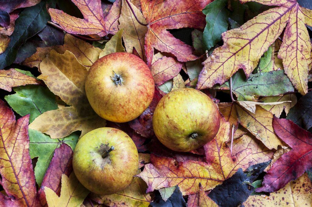 Holsteiner-Cox-Äpfel auf herbstlichen Blättern
