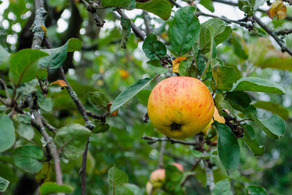 Korbiniansapfel am Apfelbaum