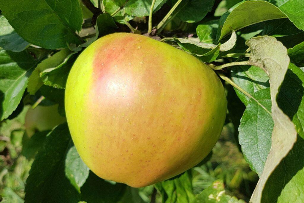 Reife Landsberger Renette hängt am Apfelbaum