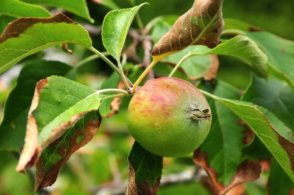 Reglindis-Apfel am Baum