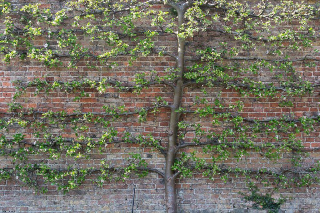 Apfelbaum Ribston Pepping als Spalier