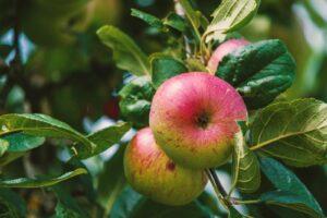 Apfelsorte Rubinette