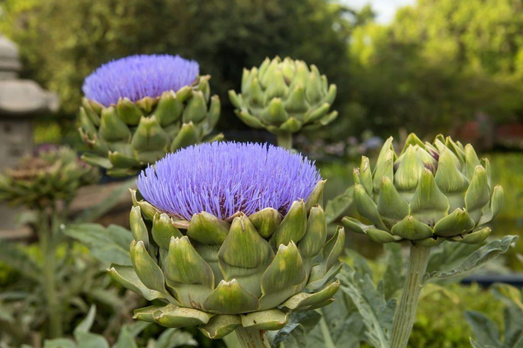 Artischocke mit lila Blüte