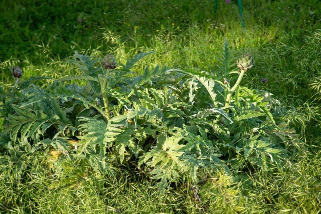 Artischocken-Pflanzen in Wiese wachsend