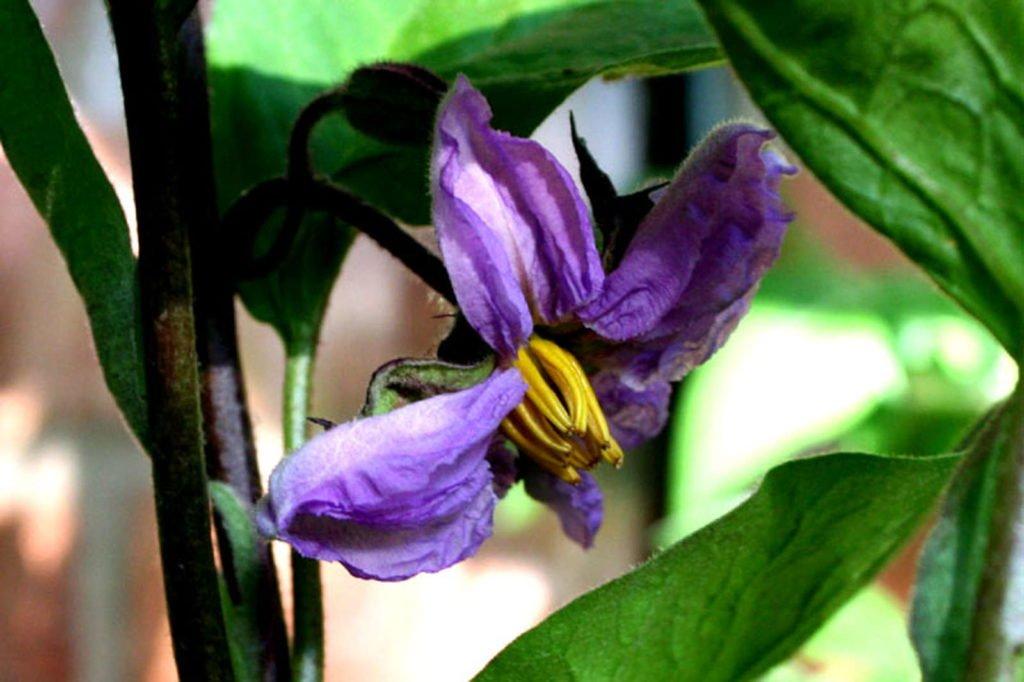 Aubergine mit lila Blüte
