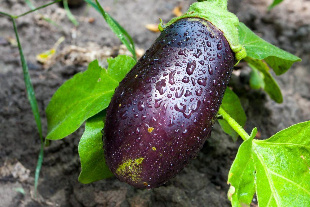 Aubergine an Pflanze