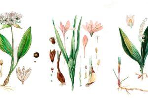 Bärlauch Verwechselung Mit Herbstzeitlose Und Maiglöckchen