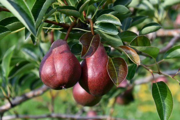 Birnensorten: Die 35 besten altbewährten & neuen Sorten (Übersicht)