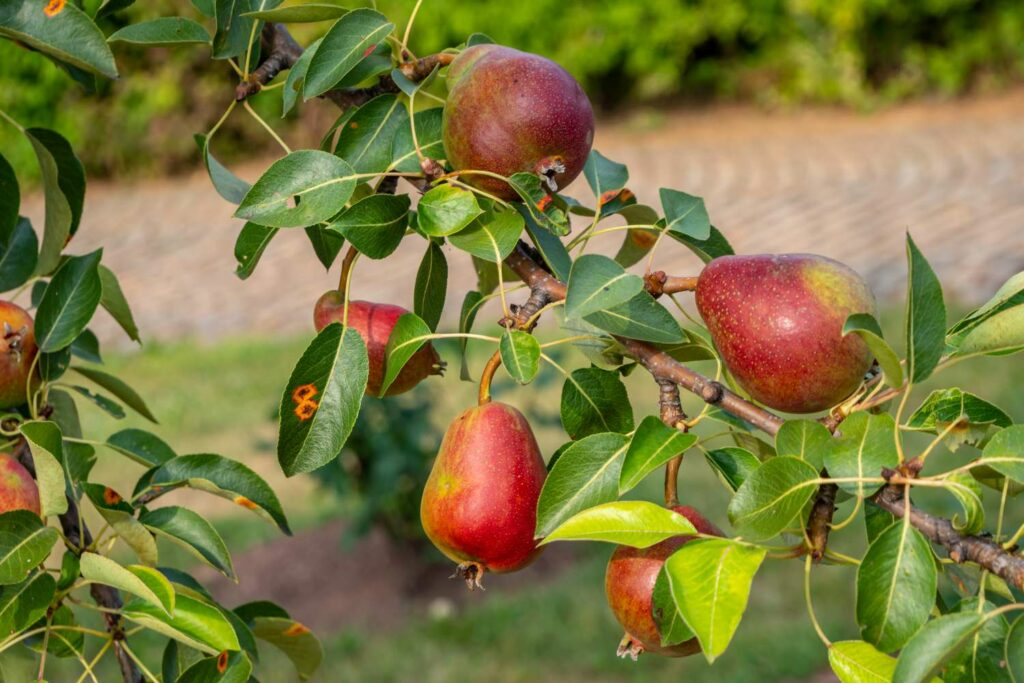Birnensorte Rote Williamschrist
