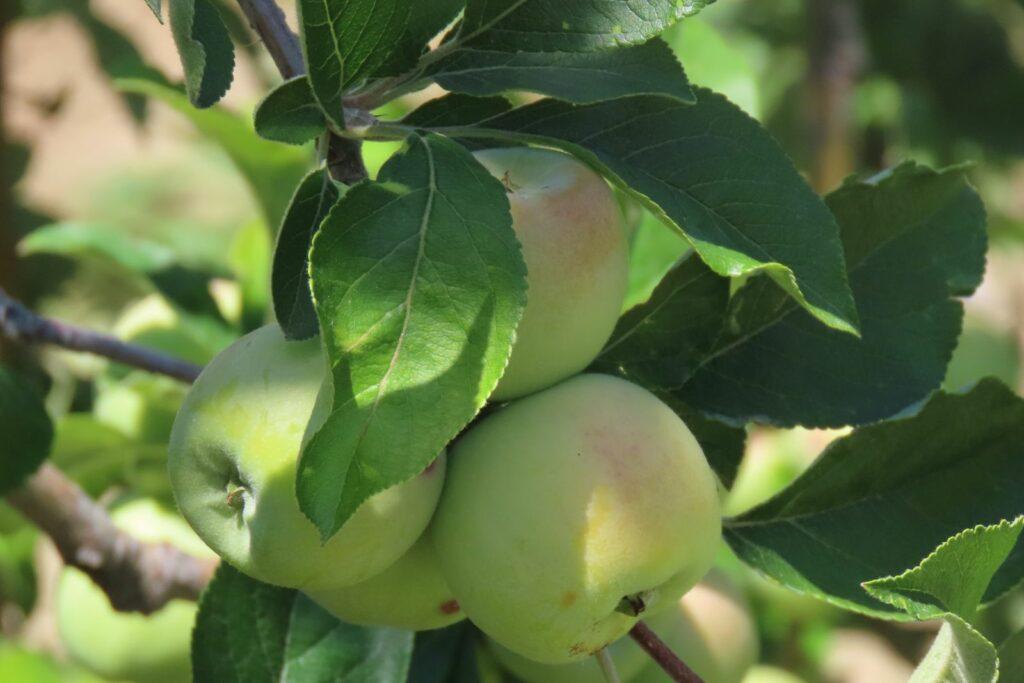 Champagner Renette: Geschmack, Anbau & Ernte des Apfels