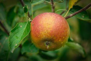 Einzelner Cox-Orange-Apfel Im Baum