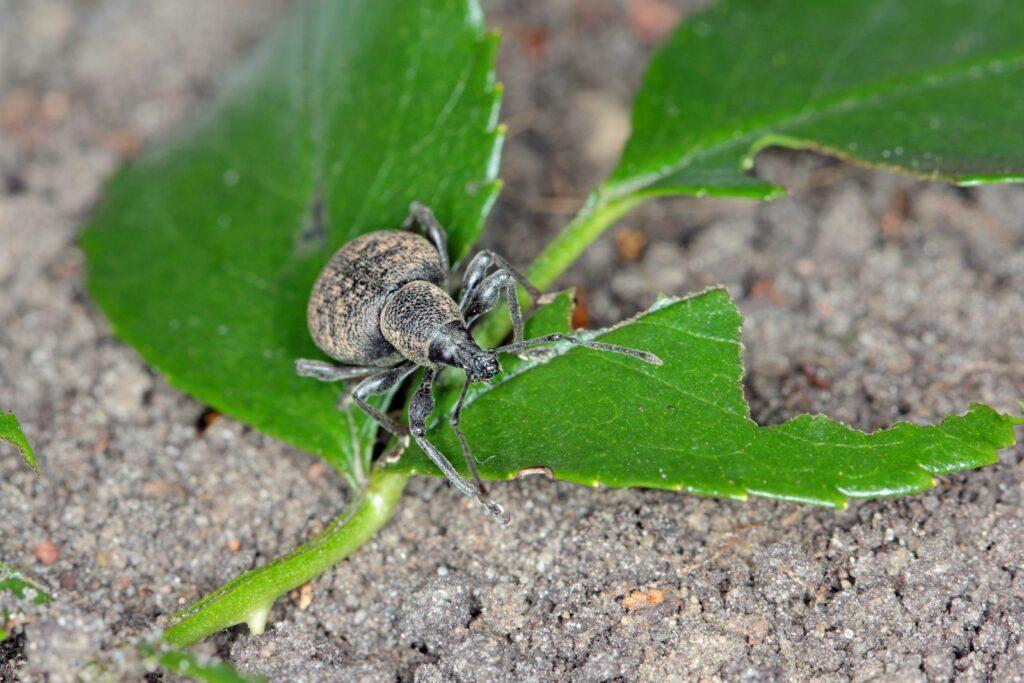 Dickmaulrüssler auf Blatt mit Fraßspuren