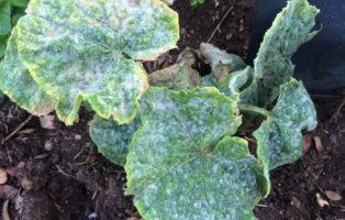 Echter Mehltau Auf Gurke Im Gemüsebeet