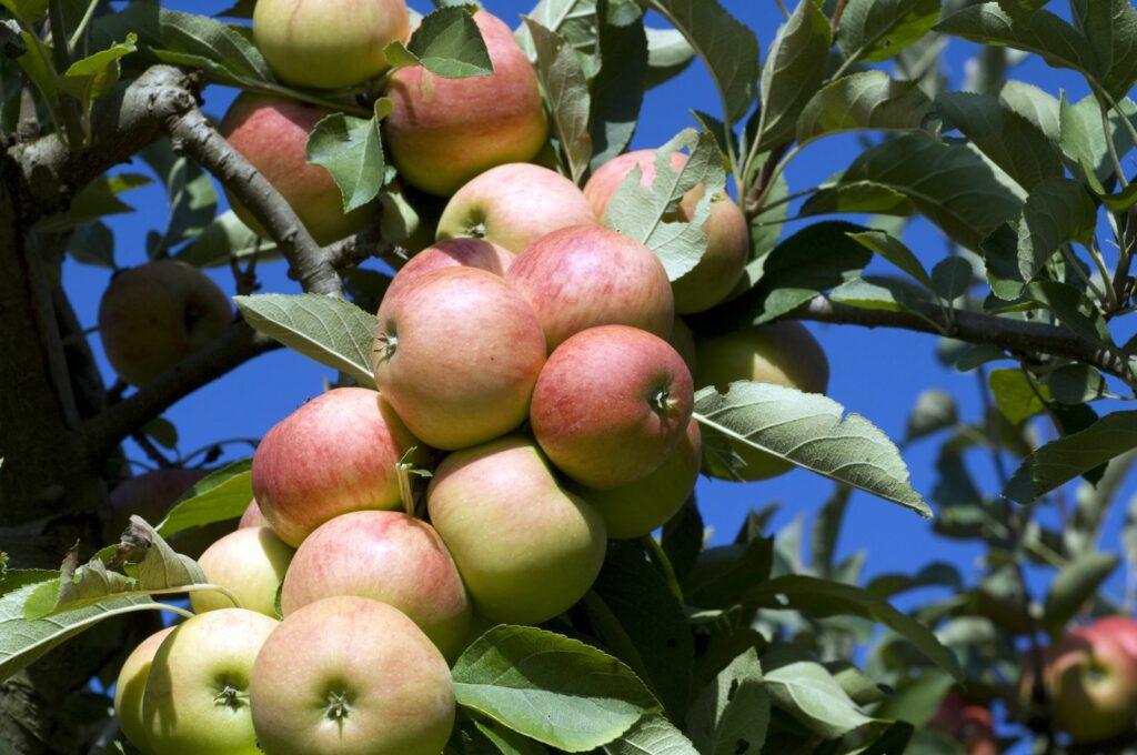 Elstar Äpfel hängen an einem Baum