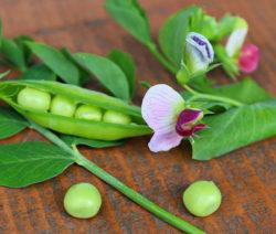 Erbse Auf Tisch Mit Blüte