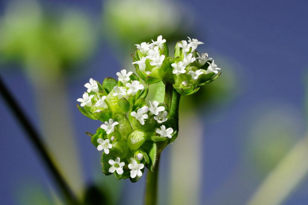 Blühender Feldsalat