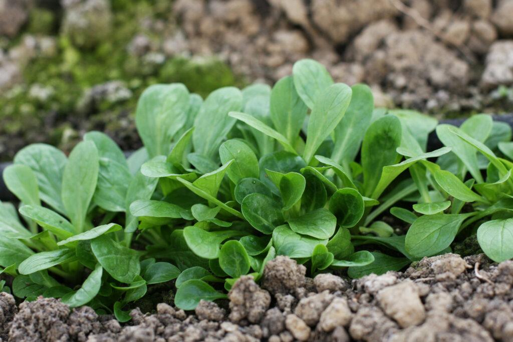Feldsalat in Reihen angebaut