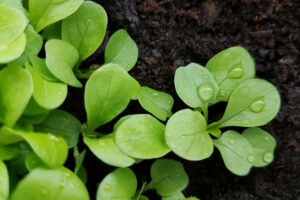 Feldsalat Keimlinge
