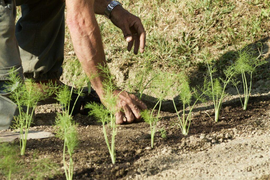 Anpflanzen der Fenchel-Jungpflanzen
