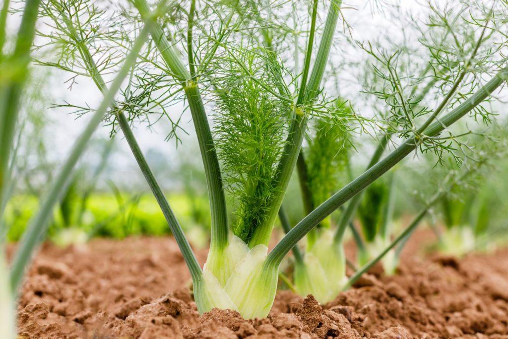 Fenchel-Knollen in einem Beet gepflanzt