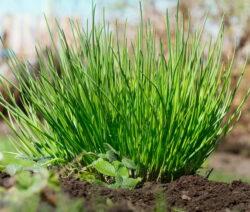 G1-Schnittlauchpflanze Im Freiland