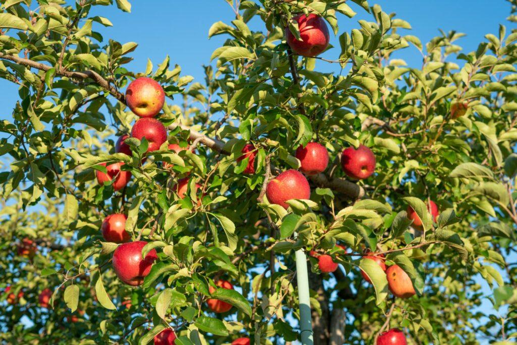 Apfelbaum Geheimrat Dr Oldenburg mit reifen Äpfeln