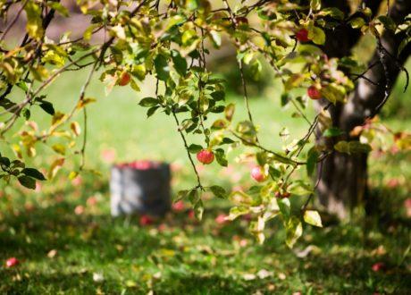 Apfelbaum Mit Reifen Äpfeln Auf Einer Wiese