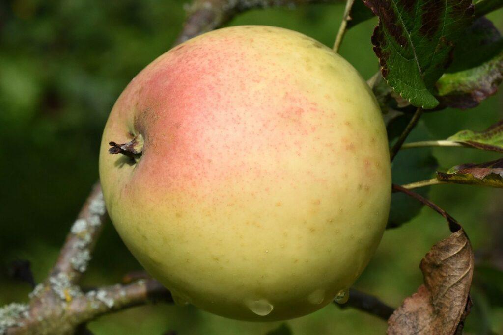 Apfelsorte Grahams Jubiläumsapfel