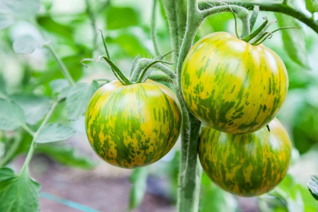 Green-Zebra-Tomaten an Rispe