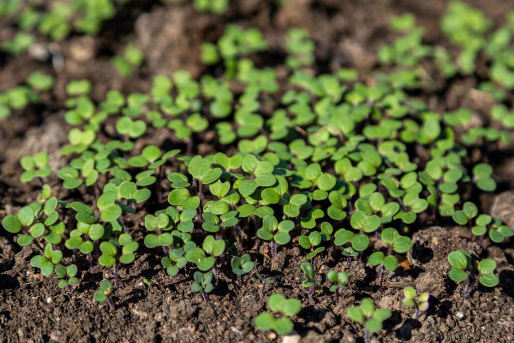 Bodenbewuchs durch Gründüngung