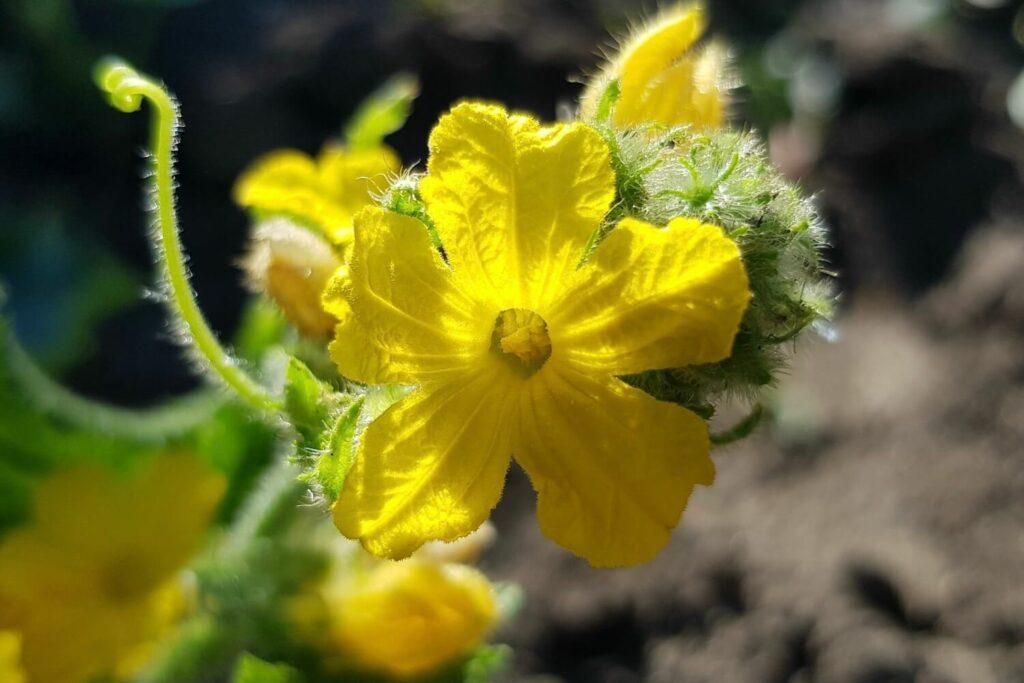 Blüte der Gurke