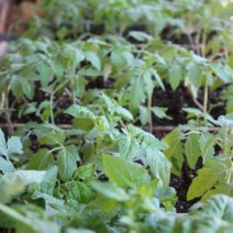 Junge Tomatenpflanzen Im Topf