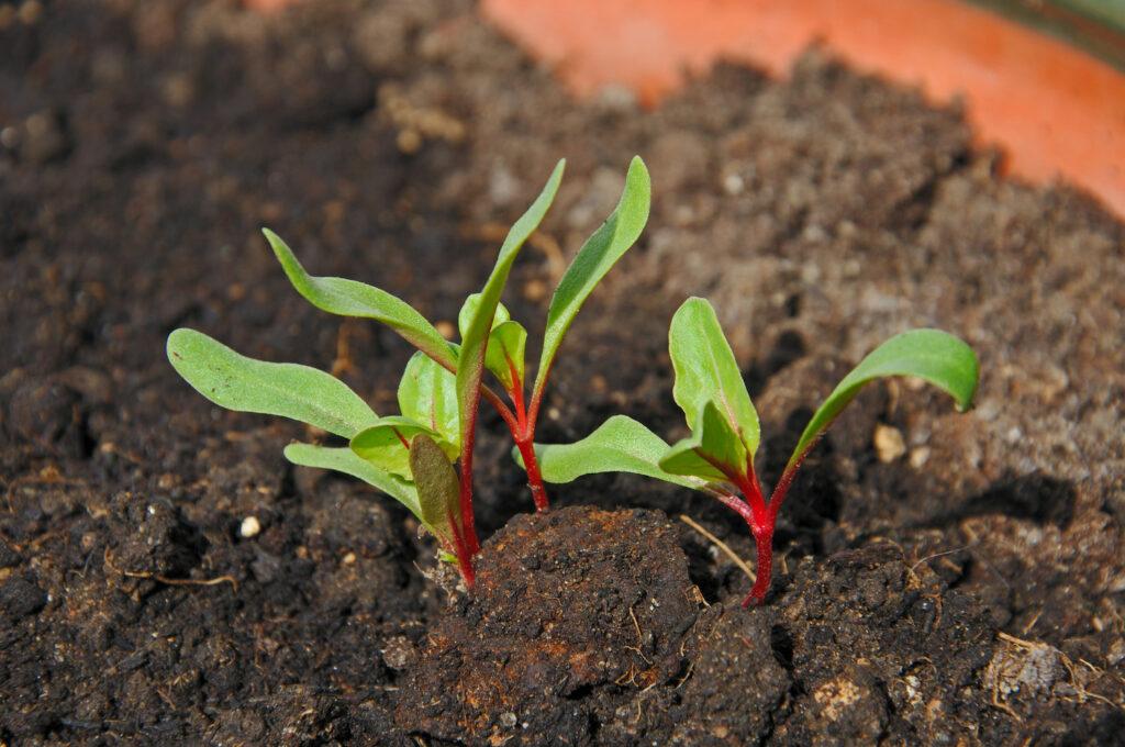 Junge Mangoldpflanzen