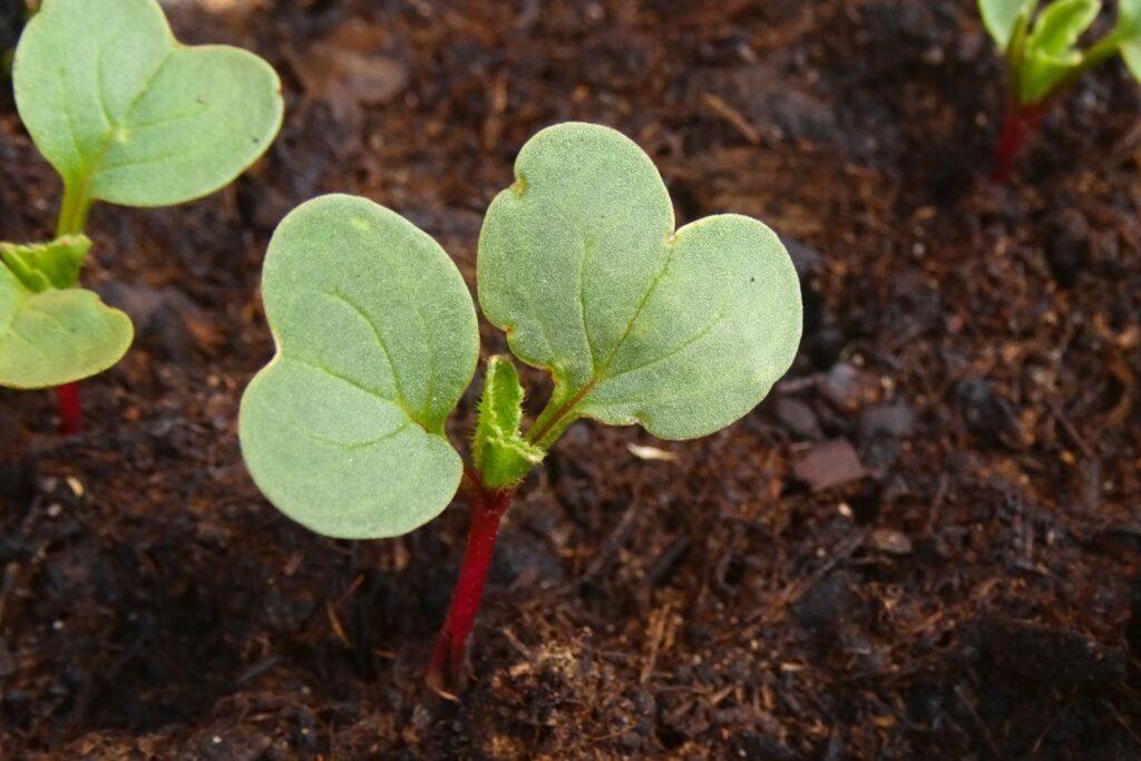 Junge Radieschen-Pflanze im Beet