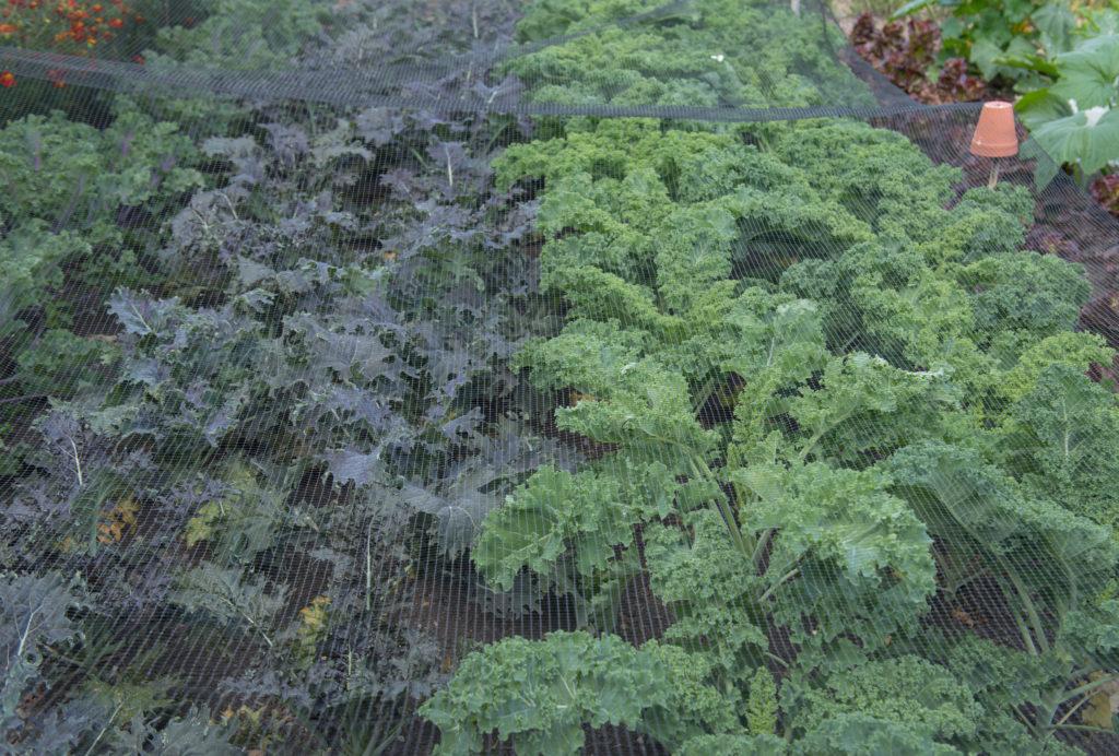 Insektenschutznetze über einem Gemüsebeet mit Kohl