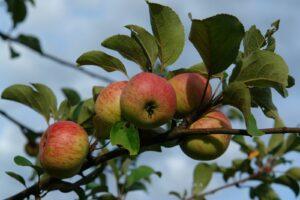 Äpfel Des Korbiniansapfelbaums